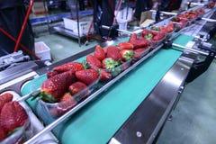 Strawberries on conveyor belt stock photo