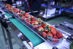 Strawberries on conveyor belt Royalty Free Stock Images