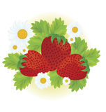 Strawberries and daisy flowers. Close-up vector illustration on white background Royalty Free Stock Photography