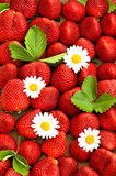 Strawberries with daisy flowers. food background Royalty Free Stock Image