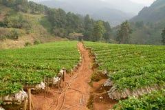 Strawberries farm at Chiangmai Stock Photo