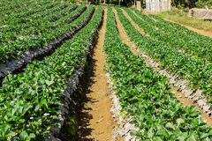 Strawberries farm at Chiangmai Thailand. Strawberries farm. Planted in rows on a hillside Royalty Free Stock Photo