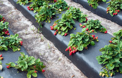 Strawberries growing on farm Royalty Free Stock Photo