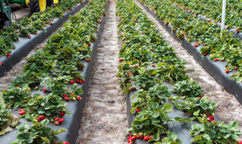 Strawberries on farm Royalty Free Stock Photography