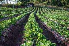 Strawberries farm Stock Photo