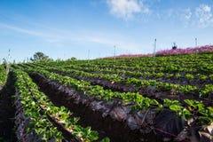 Strawberries farm Royalty Free Stock Image