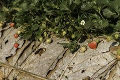 Strawberries farmland Stock Photo