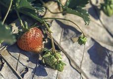 Strawberries farmland Stock Images