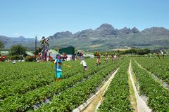 Strawberries field near Somerset West. Strawberries field with funny scarecrows near Somerset West, South Africa Stock Image