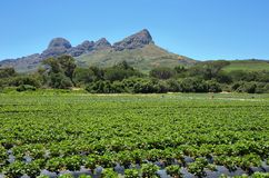 Strawberries field near Somerset West. South Africa Stock Photo