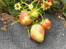 Strawberries. In the fields Stock Photography