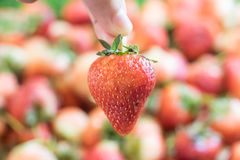 Strawberries are the first fruit to ripen each spring Royalty Free Stock Images