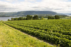 Strawberries and fjords Stock Photos