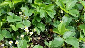 Strawberries in flower Stock Images