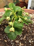 Strawberries flowering. Here are strawberries just after they have flowered and are now turning into strawberries stock photos