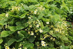 Strawberries, flowering bushes Royalty Free Stock Photos