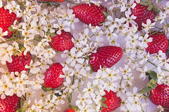 Strawberries with flowers of bird cherry on a white background. View from above. Sunny spring background. Pattern. Stock Photos