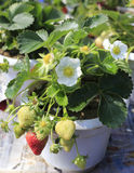 Strawberries and flowers Stock Photography