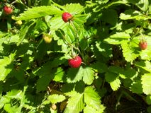 Strawberries in the forest. Royalty Free Stock Images
