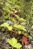 Strawberries in the forest glade. Fresh small red strawberries among the grass, leaves and moss in the forest glade Stock Photography