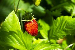 Strawberries fragaria on blurry background. Macro shot. Strawberries fragaria on blurred background. Macro shot royalty free stock images