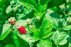 Strawberries fragaria vesca on blurry background. Macro shot stock photos