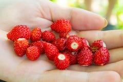 Strawberries fragaria in woman hand. Macro photo. Organic fruits royalty free stock photo