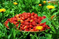 Strawberries. Fresh strawberries in a dish on grass Royalty Free Stock Photography