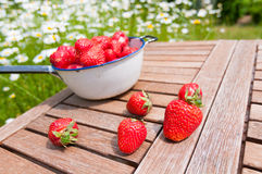 Strawberries fresh from the garden. A sieve full with fresh, cleaned  strawberries fresly picked from the garden. Some strawberries lying on the table Royalty Free Stock Photo