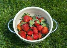 Strawberries. Fresh organic strawberries in strainer on green grass Royalty Free Stock Image