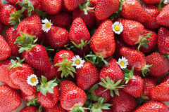 Strawberries. Freshly picked strawberries with daisies Royalty Free Stock Photo