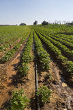 Strawberries furrows in Elyachin, Israel Royalty Free Stock Images