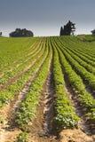 Strawberries furrows in Elyachin, Israel Royalty Free Stock Images