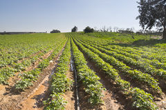 Strawberries furrows in Elyachin, Israel Stock Image