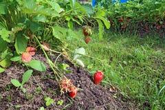 Strawberries in garden Stock Image