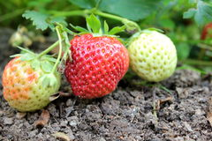 Strawberries on the garden Royalty Free Stock Photography