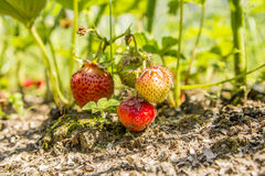 Strawberries in the garden. Strawberries in the beautiful sunny garden Stock Image