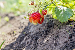 Strawberries in the garden. Strawberries in the beautiful sunny garden Royalty Free Stock Image