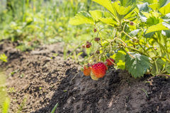 Strawberries in the garden. Strawberries in the beautiful sunny garden Royalty Free Stock Photos