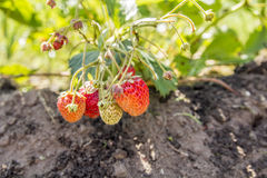Strawberries in the garden. Strawberries in the beautiful sunny garden Stock Photography