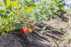 Strawberries in the garden. Strawberries in the beautiful sunny garden Stock Photos