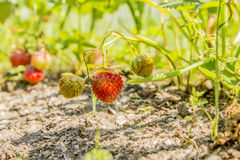 Strawberries in the garden. Strawberries in the beautiful sunny garden Royalty Free Stock Photography