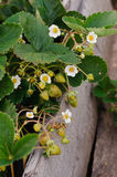 Strawberries in the garden Stock Image