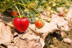 Strawberries from the garden. Royalty Free Stock Images