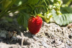 Strawberries in the garden Royalty Free Stock Photo