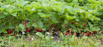 Strawberries in the garden. Ripe strawberries in the garden in summer Royalty Free Stock Images