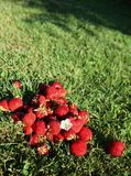 Strawberries on grass Royalty Free Stock Photo