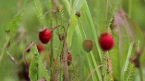 Strawberries in the grass (close-up) Stock Images