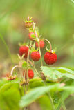 Strawberries in the grass. Royalty Free Stock Photography