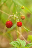 Strawberries in the grass. Royalty Free Stock Images